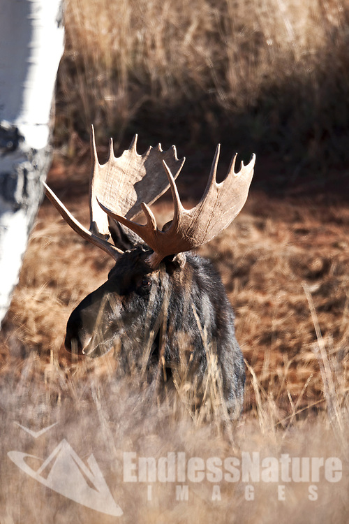 Bull Moose antlers are like a fingerprint each year they grow larger but the points will grow back in the same pattern.