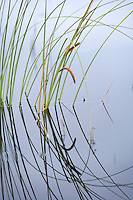 water plants growing in the lakes at Rannoch Moor