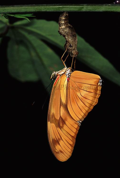 Buttterfly emerging from Crysalis<br />Dryas julia<br />Amazon Rain Forest, ECUADOR  South America