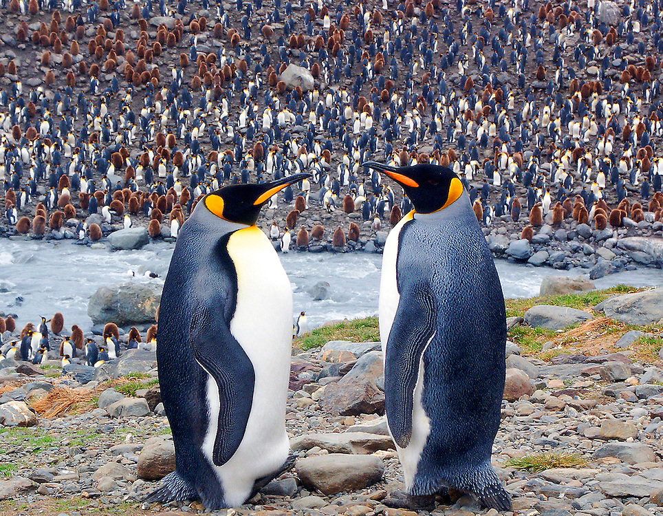 A conversation between two adult King penguins.  A sea of adult and juvenile King penguins are in the background.  The photo was taken in Antarctica.