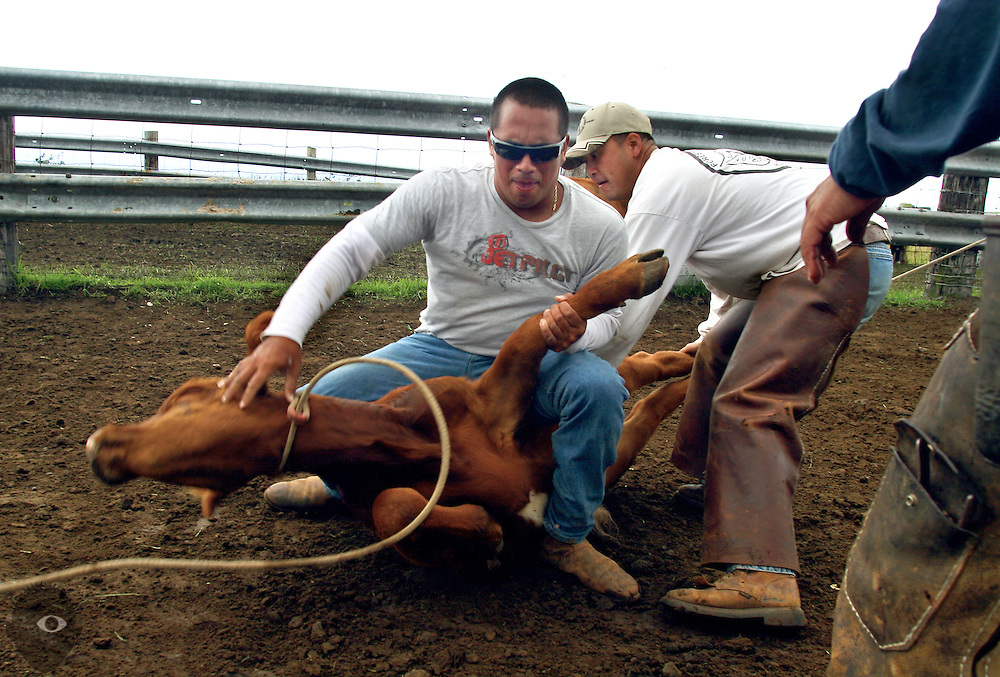 Cowboy Kainoa Lapera battles to tuck the leg of a calf to be branded at the Kuahiwi Ranch in the higher country above the town of Naalehu on the southern part of the Big Island, Hawaii.