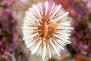 Caryophyllia profunda