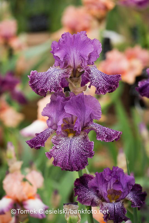 Iris 'Celestial Explosion'