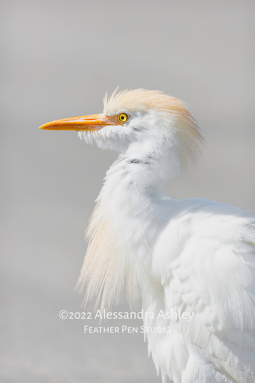 Portrait of cattle egret showing splashes of buff-colored spring plumage, just after a good shake to rearrange feathers.