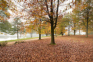 Autumn foliage on beech trees next to Virginia Water in the Valley Gardens, Surrey, UK