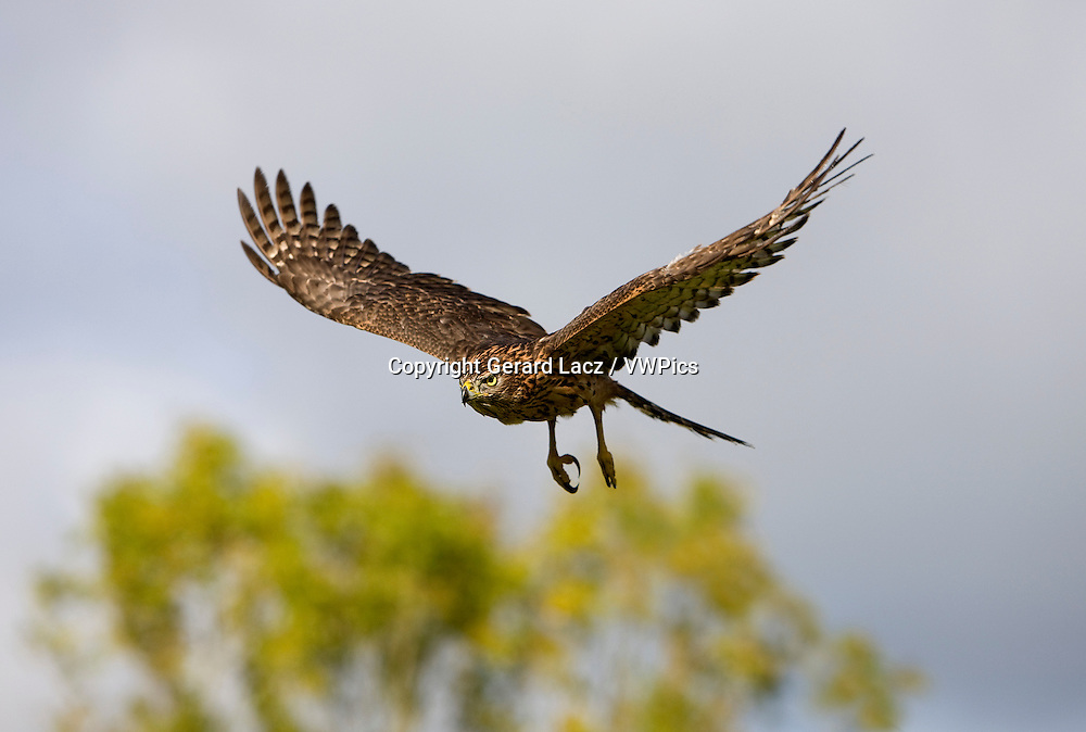 GOSHAWK accipiter gentilis, JUVENILE IN FLIGHT, NORMANDY