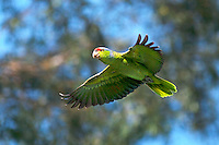 I used my Cannon 300mm lens to capture this colorful flying San Diego wild parrot.  The bright green bird stands out from the background.