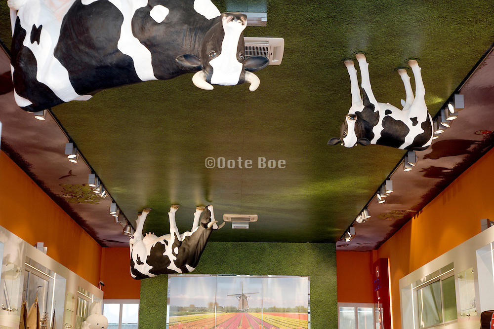 cows placed on the ceiling in a souvenir shop in Amsterdam