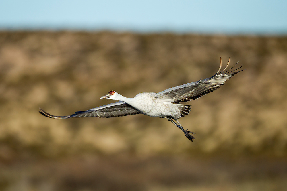 USA, New Mexico, Bosque del Apache National Wildlife Refuge, Lone Sandhill Crane (Grus canadensis) spreads wings in flight above Rio Grande Valley on winter morning