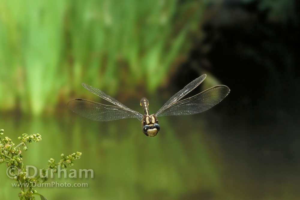 A Pacific Clubtail dragonfly (Gomphus kurilis) photographed in the coastal mountain of Oregon with a high-speed camera.