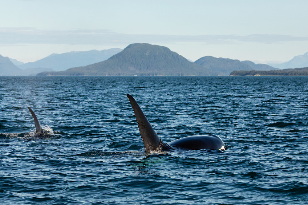 Male and female Orcas (Orcinus orca) surfacing in Lynn Canal in Southeast Alaska. Summer. Evening.