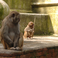 A monkey chewing on a stick at Swayambhunath - the Monkey Temple - in Nepal.