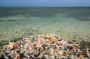 Queen Conch (Strombus gigas) shells harvested for their meat<br /> Hat Caye<br /> Lighthouse Reef Atoll<br /> Belize<br /> Central America