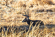 Mature whitetail buck bedded in autumn habitat