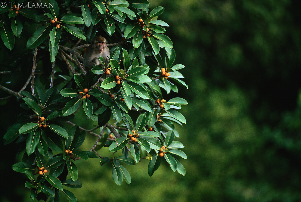 Long-tailed macaque (Macaca fasicularis) in a Strangler fig tree (Ficus sp.) ladened with ripe figs on which macaques feed.
