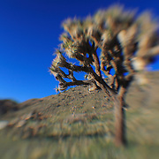 Joshua Tree Blue Sky - Lensbaby