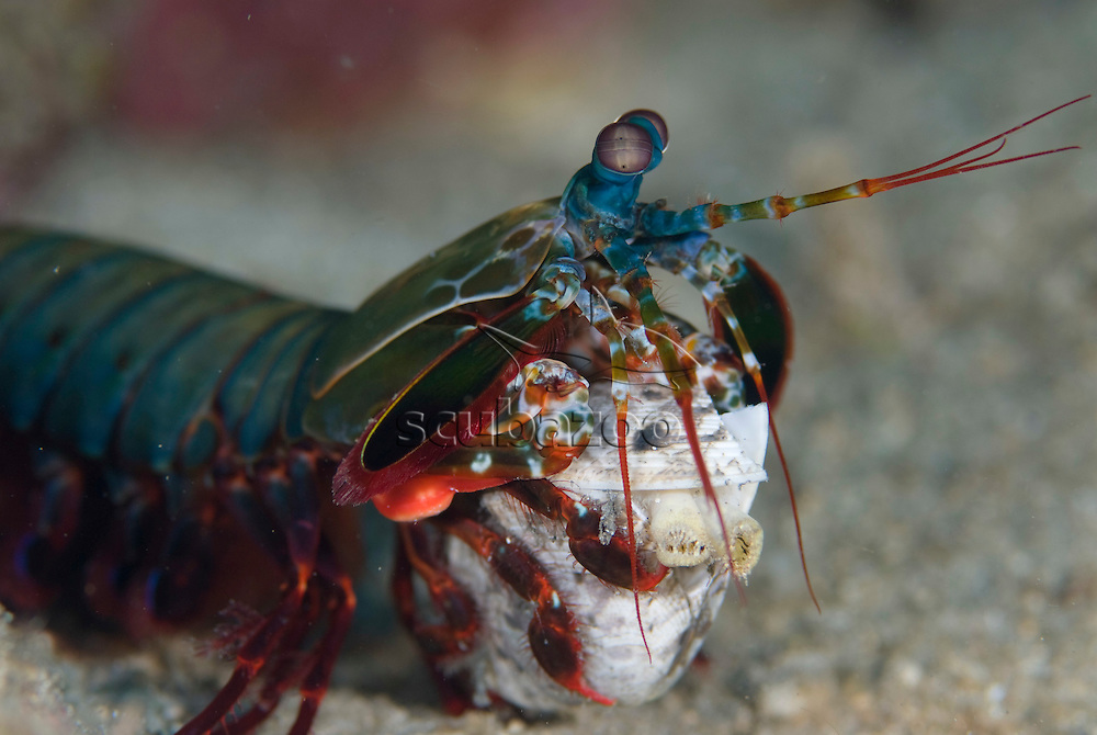 Mantis Shrimp, Odontodactylus scyllarus, with bivalve food, KBR, Lembeh Strait, Sulawesi, Indonesia.
