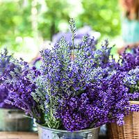 'Munstead' and 'Hidcote' English lavender in a basket at  farmers market. (Lavandula angustifolia 'Munstead' and Lavandula angustifolia 'Hidcote').