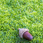 Acorns on a moss lawn background. The acorn, or oak nut, is the nut of the oaks and their close relatives (in this case Quercus suber species),  native to southwest Europe and northwest Africa.
