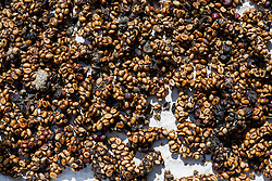 Poop of civets after they ingested coffee beans are collected to create on of the most expensive coffee (weasel coffee) in the world, Da Lat area, Vietnam, Southeast Asia