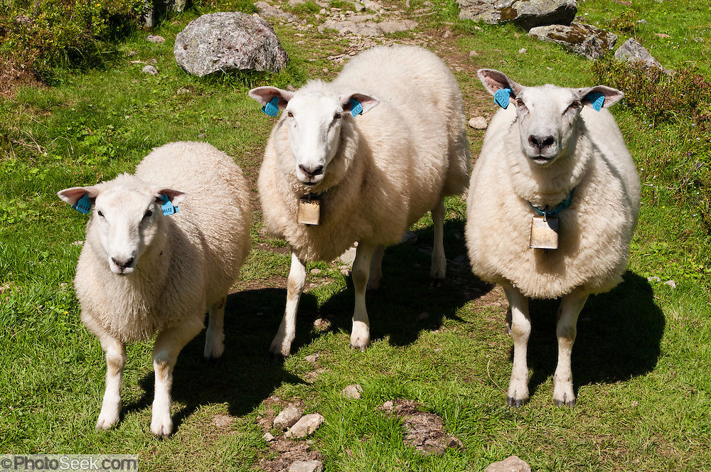 Sheep with bells and blue ear tags greet you on Skåla mountain trail near Loen, Norway.