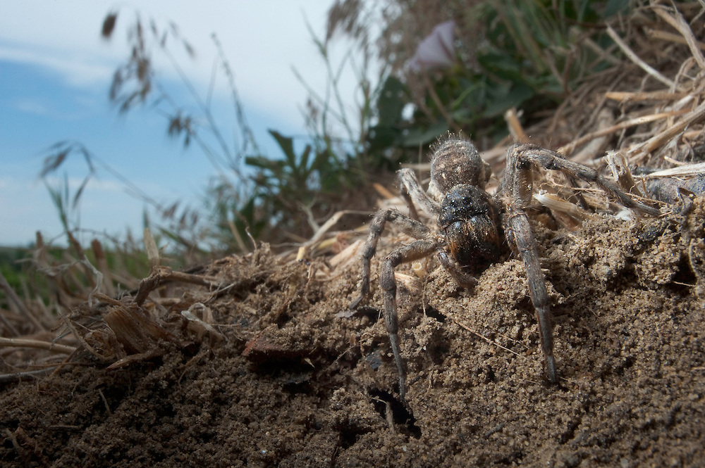 Wolf spider {Lycosa vultuosa}  near lake Belau, south Moldova
