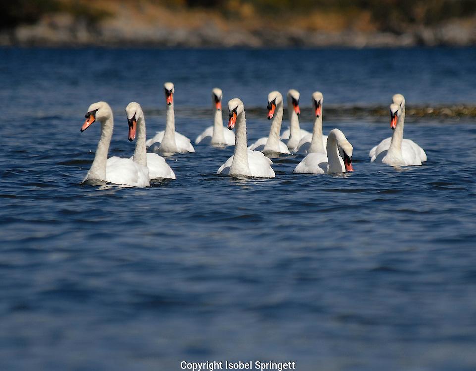 Mute Swans (Photo by: Isobel Springett).