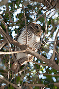 White Browed Owl, Ninox superciliaris, perched in tree, Zombitse Park, Madagascar, Least Concern IUCN Red Data List