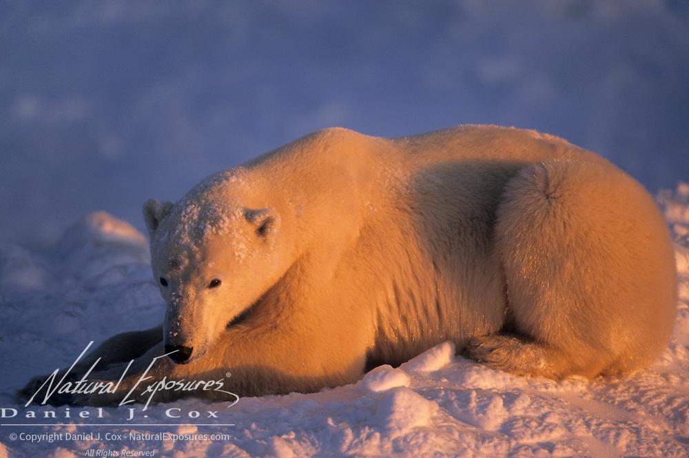 Polar Bear illuminated in alpenglow. Hudson Bay, Canada