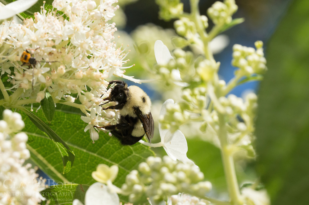 Rusty Patched Bumble Bee (Bombus affinis), queen, Madison, Wisconsin