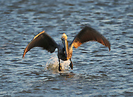 Pelicans are a genus of large water birds comprising the family Pelecanidae. They are characterised by a long beak and large throat pouch used in catching prey and draining water from the scooped up contents before swallowing. They have predominantly pale plumage, the exceptions being the Brown and Peruvian Pelicans. The bills, pouches and bare facial skin of all species become brightly coloured before the breeding season.