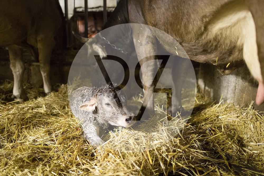 SCHWEIZ - MEISTERSCHWANDEN - Eine Kuh bringt ein Kalb zur Welt, hier das frischgeborene Kalb - 06. Februar 2017 © Raphael Hünerfauth - http://huenerfauth.ch
