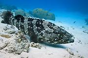 Malabar Cod or Grouper (Epinephelus malabaricus) on coral reef - Agincourt reef, Great Barrier Reef, Queensland, Australia.