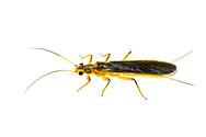 Common Stonefly (Perlesta sp.)<br /> ALABAMA: Tuscaloosa Co.<br /> Tulip Tree Springs off Echola Rd.; Elrod<br /> 24-April-2016<br /> J.C. Abbott #2802 &amp; K.K. Abbott