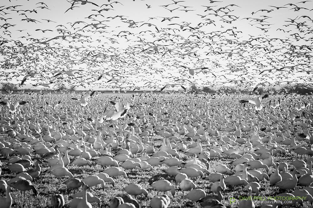 Snow Geese Swarm in Skagit Valley, Washington