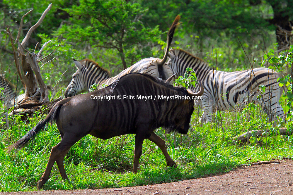 KLASERIE PRIVATE GAME RESERVE, SOUTH AFRICA, DECEMBER 2004. Zebras graze in the bush while a wildebeest passes. Wildlife guide Gary Freeman takes people on walking safaris in the bush. Photo by Frits Meyst/Adventure4ever.com