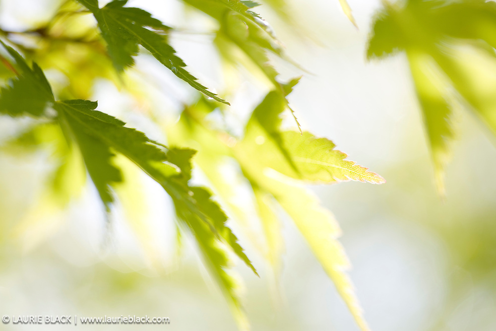 Green Japanese maple leaf in sunlight.