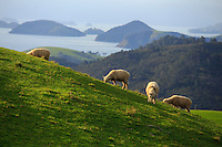 Coromandel Peninsula, North Island, New Zealand