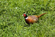 Male pheasant, The Cotswolds, Oxfordshire, United Kingdom
