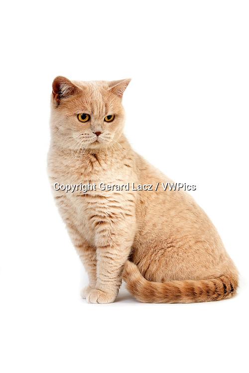 Cream British Shorthair Domestic Cat, Female sitting against White Background