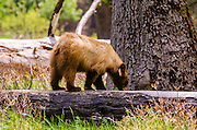 Black bear, Yosemite Valley, Yosemite National Park, California USA