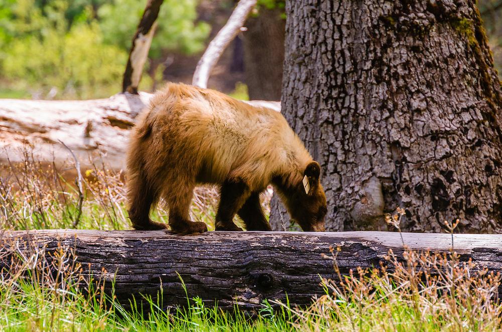 Black bear, Yosemite Valley, Yosemite National Park, California USA