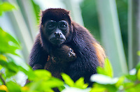 "Mantled howler monkey (Alouatta palliata), Costa Rica. The mantled howler (Alouatta palliata), or golden-mantled howling monkey, is a species of howler monkey, a type of New World monkey, from Central and South America. It is one of the monkey species most often seen and heard in the wild in Central America. It takes its ""mantled"" name from the long guard hairs on its sides. The mantled howler is one of the largest Central American monkeys. Image by Andres Morya"