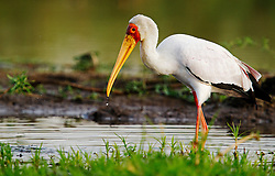 Yellow-billed Stork, Mycteria ibis, Zambia, by Marius Coetzee