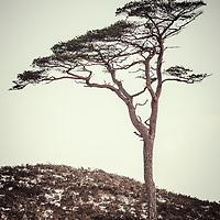 Lone pine, Glen Affric