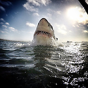 "Go Pro Shark Photographer<br /> <br /> Amanda Brewer is not only a shark conversationist but also a Go pro photograoher of these stunning animals, these images taken in Mossel Bay, South Africa with an eco tourism company called White Shark Africa and feature juvenile great white sharks. Amanda says "" Many of the sharks seen in the photos and videos are regulars around seal island and we know them well"",  The female shark seen breaching out of the water is named ""Blackgill"", and is easily the most impressive shark we've ever met. (Sharkservation) which takes and shares these photos to get people interested in learning about sharks in hopes that we can protect them. On average, 100,000,000 sharks are being killed every single year for profit. This is an unsustainable rate and we see extinction in the near future for many large species of shark if nothing is done soon.  In my time with the white shark I've learned that they each have an individual and distinct personality and they are far more intelligent than we give them credit for. I have a life long passion for these animals and I hope to play a role in securing their well deserved, perfectly evolved, presence here on earth.<br /> ©Exclusivepix Media"