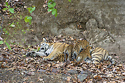 Bengal Tiger<br /> Panthera tigris <br /> Eight week old cubs suckling at den <br /> Bandhavgarh National Park, India