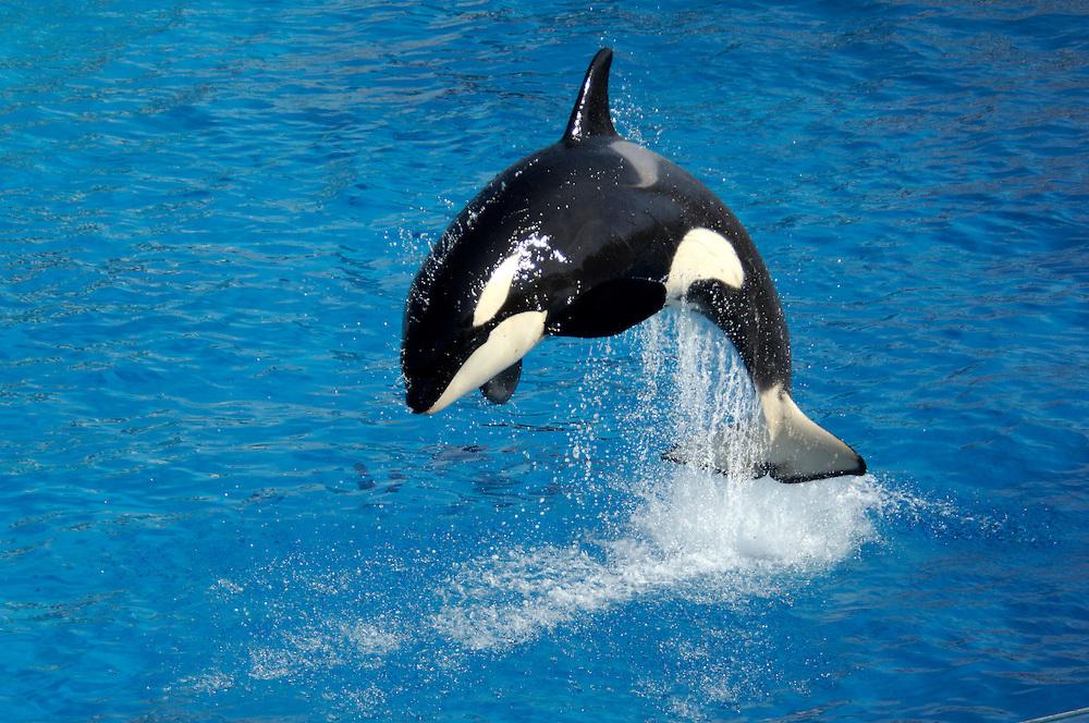 Shamu show, Killer Whale, Orca (Orcinus orca), Sea World, San Diego, California, United States of America