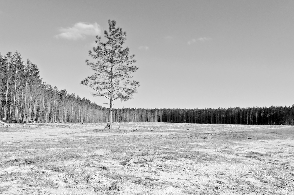 USA,Vereinigte Staaten von Amerika,Florida,Tallahassee, Auf einem Grundstück das ringsum abgeholzt wurde steht ein Nadelbaum auf sandigem Boden. Im Hintergrund noch stehende Bäume   |  USA ,United States of America,Florida,Tallahassee, a tree stands on a deforested ground. |