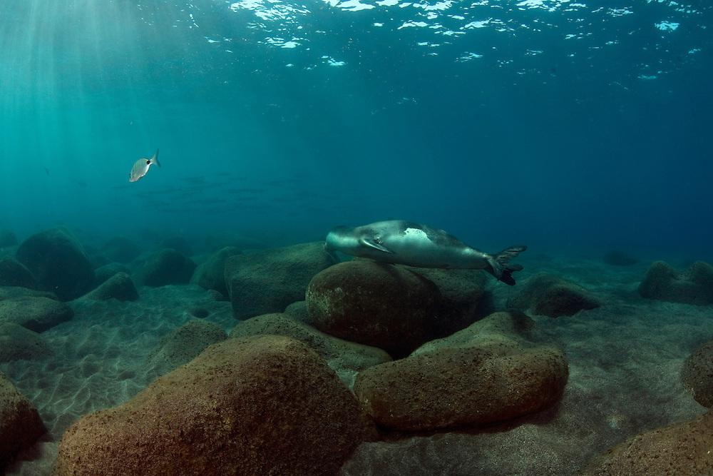 Mission - Monk Seal<br /> Monk Seal (Monachus monachus), Desertas Islands &ndash; Deserta Grande - Madeira, Portugal. August 2009. Male Juvenile. Photographed alone.